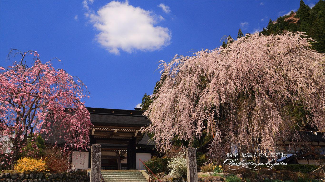 慈雲寺のしだれ桜 壁紙