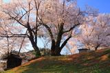 賀茂神社御旅所の桜