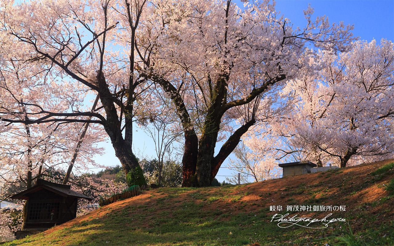 賀茂神社御旅所の桜 壁紙
