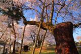 賀茂神社御旅所の加茂桜