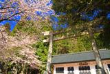 大野市 穴馬神社の桜