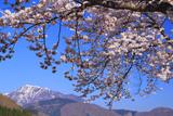 桜と荒島岳