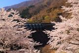鷲ダムの桜