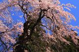 鴇ヶ谷のシダレ桜