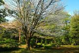 兼六園の霞桜
