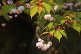 善正寺菊桜