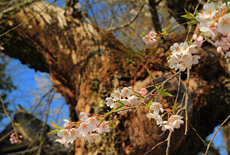 往還寺のしだれ桜
