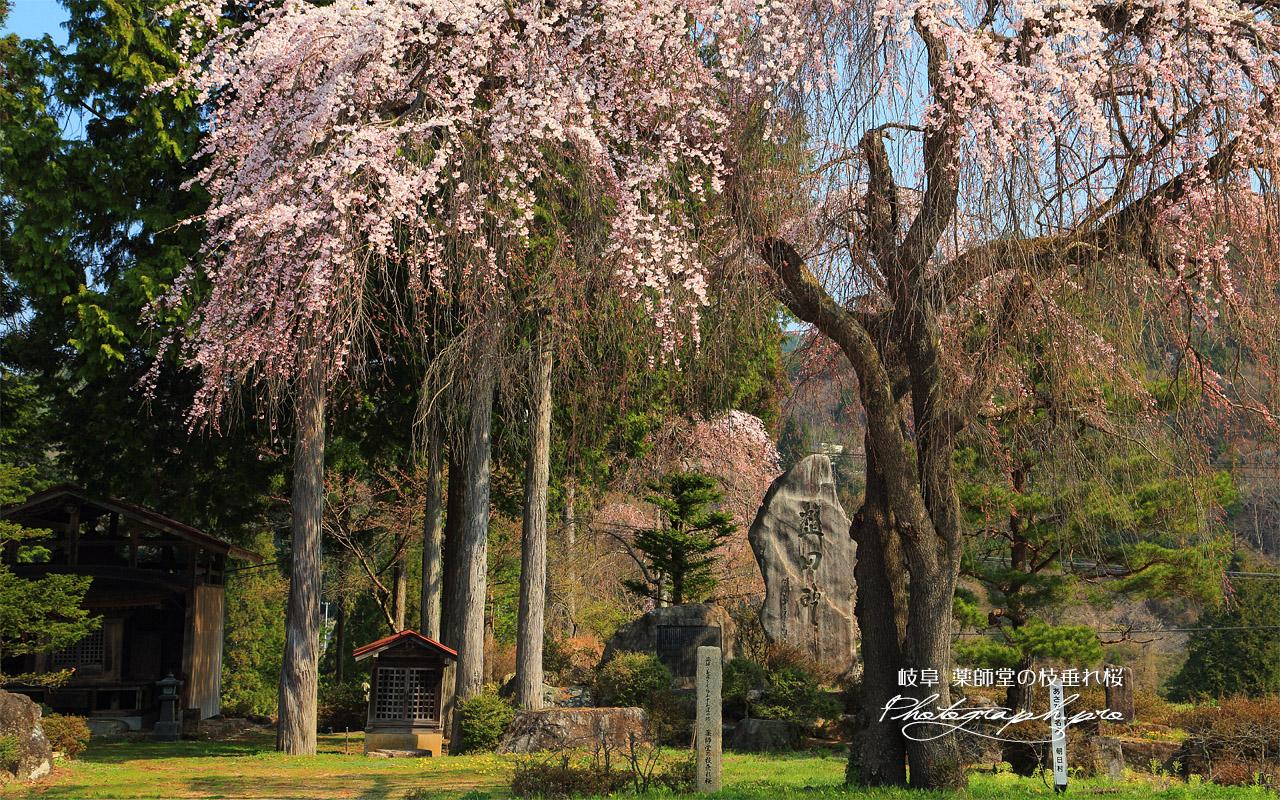 薬師堂の枝垂れ桜 壁紙