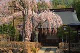宝蓮寺の阿弥陀桜