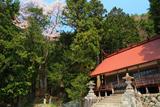 神明神社の山桜、榎