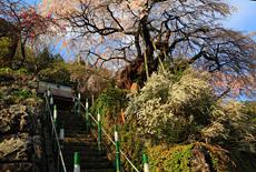 清南寺の夫婦桜
