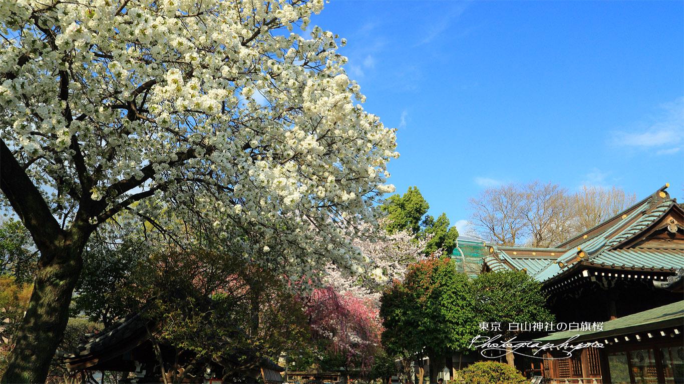 白山神社の白旗桜 壁紙