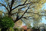 白山神社の白旗桜