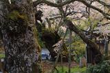 清南寺の天婦桜