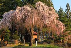 薬師堂の枝垂れ桜