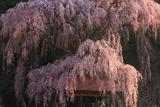 浅井神明神社の桜