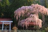 浅井の神明桜