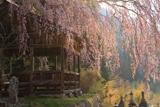 浅井神明神社のしだれ桜