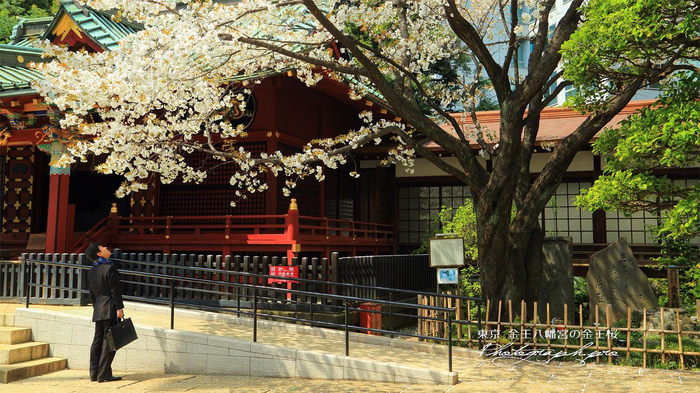 金王八幡宮の金王桜 壁紙