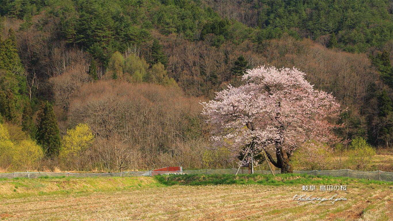 島田の桜 壁紙