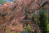 西光寺の枝垂れザクラ
