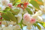 気多白菊桜