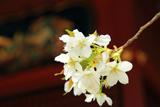 金王八幡宮の金王桜