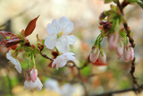渋谷区 金王八幡宮の桜