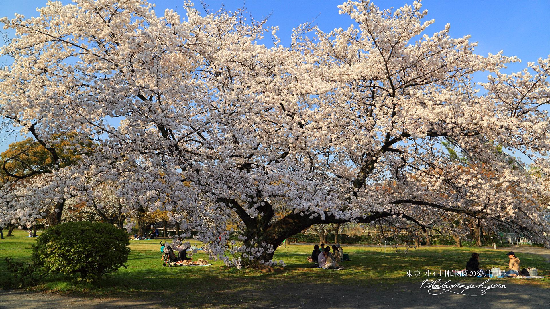 小石川植物園のソメイヨシノ