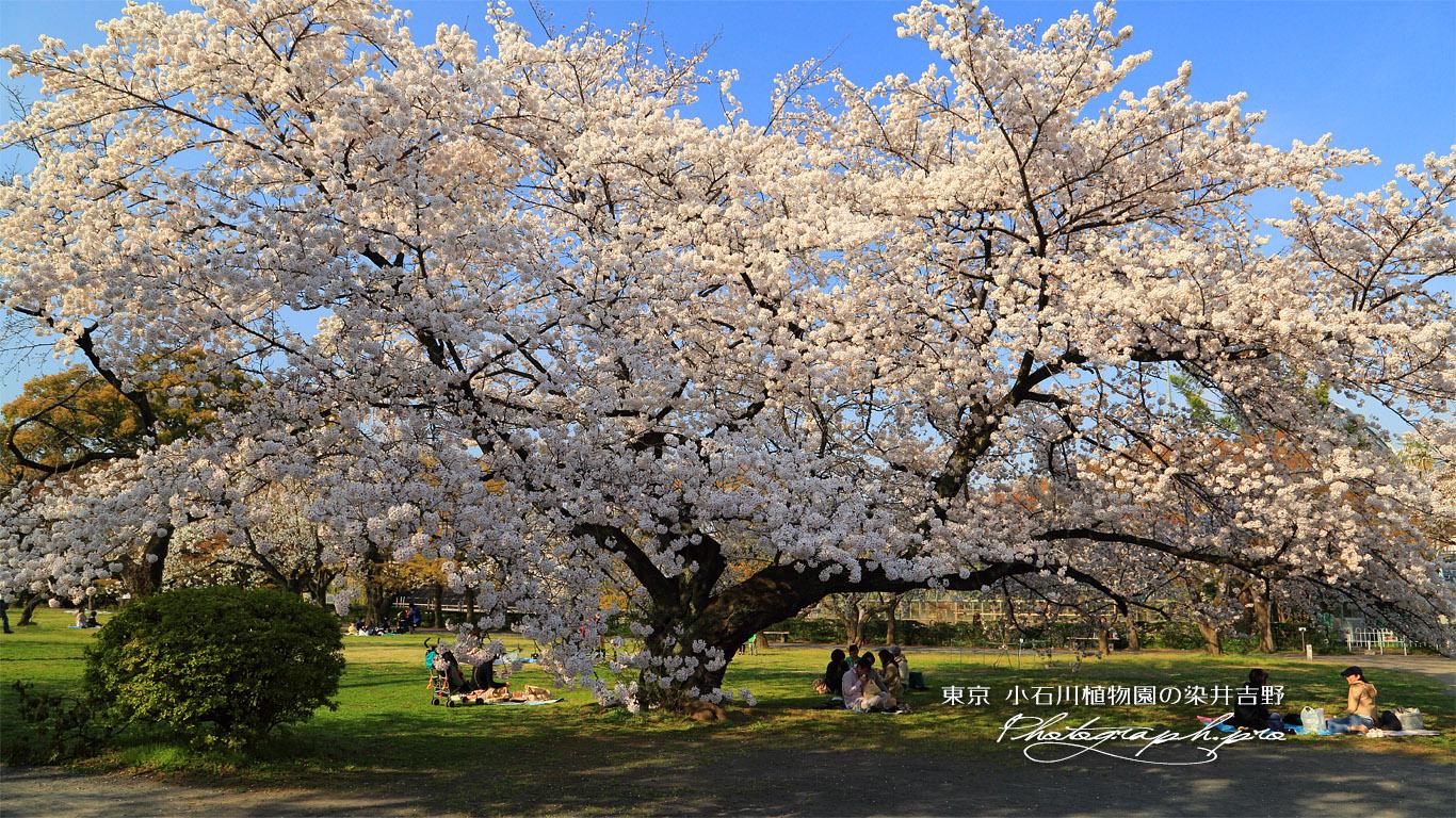 小石川植物園のソメイヨシノ 壁紙