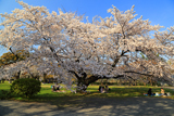 小石川植物園の染井吉野