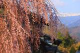 青屋神明神社のシダレザクラ