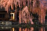 青屋神明神社の枝垂桜