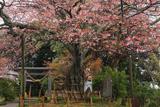 船塚山のヤマザクラ