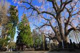 萬松寺のシダレザクラ