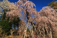 宇津野のしだれ桜
