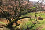 五反田の畦桜