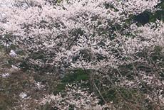 小倉神社のかすみ桜