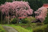 多宝院の紅枝垂桜