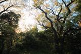 広町緑地の大桜