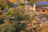 鎌倉山 桜咲く檑亭