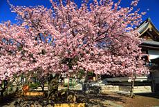 両大師の御車返しの桜