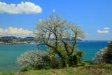 仏法寺跡の大島桜