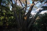 台峯のおろち桜