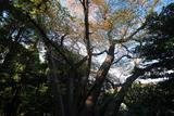 台峯の大蛇桜