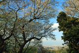 六国見山から桜越しの横浜方面