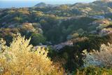 六国見山の一目千本桜