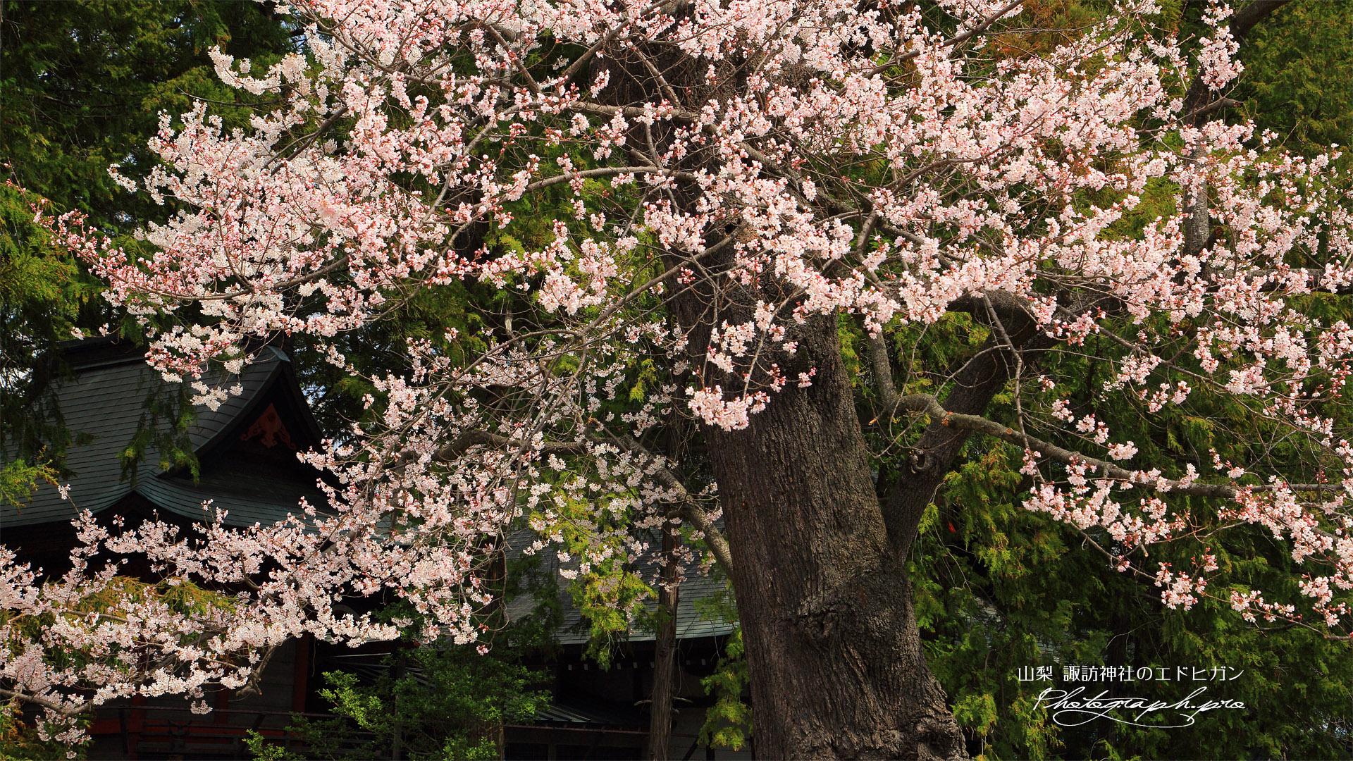 諏訪神社のエドヒガン