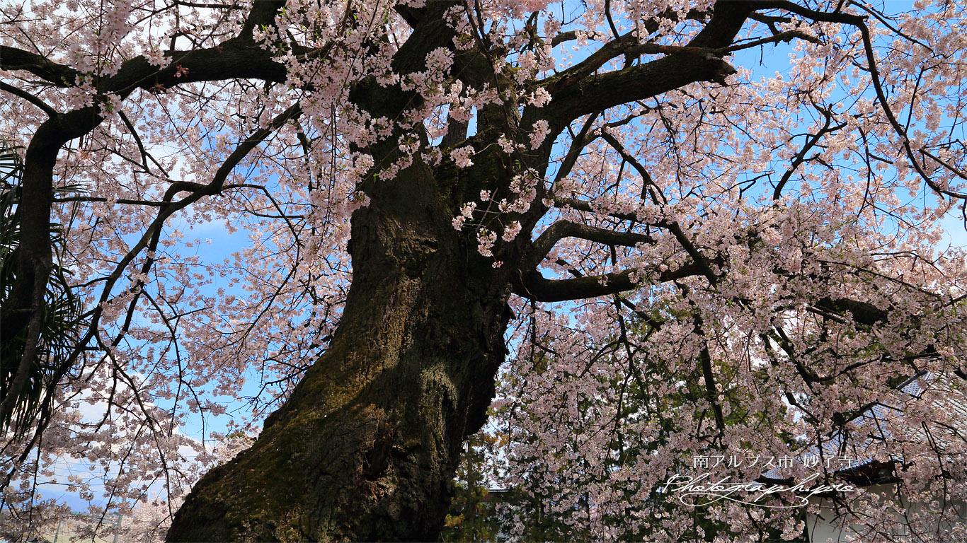 妙了寺の桜 壁紙