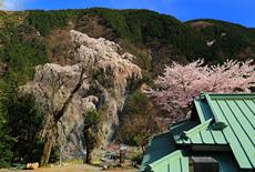 本妙寺のしだれ桜